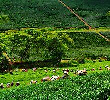 Harvesting Tea by Nhan Ngo
