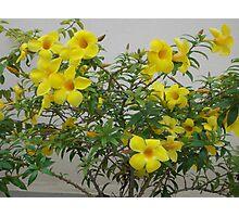 Allamanda cathartica plant Photographic Print
