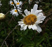 Lovely Daisies at the side of the beach by Prettyinpinks