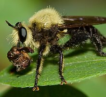 Robber Fly with Lunch by William C. Gladish, World Design