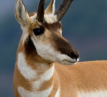 Pronghorn Portrait by William C. Gladish