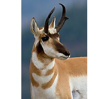 Pronghorn Portrait Photographic Print