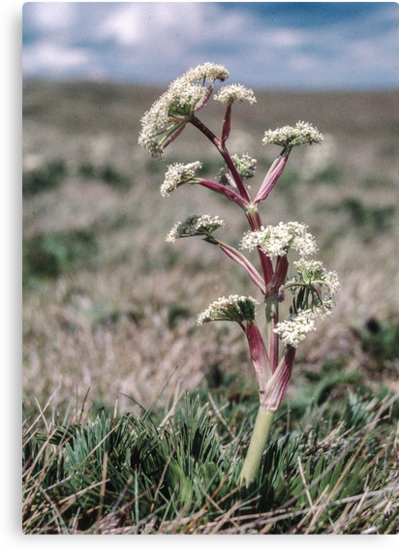 Flower on Bogong High Plains 2000 12150004  by Fred Mitchell