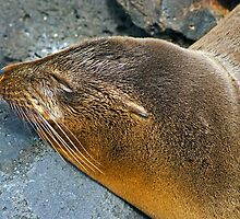 Sea Lions8 by bulljup