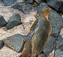 Sea Lions11 by bulljup