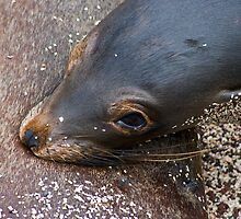 Sea Lion & Pup6 by bulljup