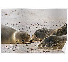 Sea Lion Pups Poster