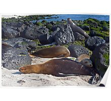 Sea Lions15 Poster