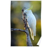Sulphur Crested Cockatoo. Cedar Creek, Australia. (2) Poster