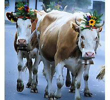 Gethering the cows in Canton Bern - Swiss Photographic Print