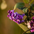 Mauve Hardenbergia by reflector
