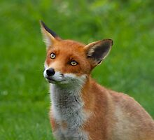 Red Fox by Sean Foreman