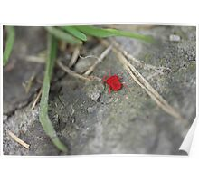 Little red insect Poster