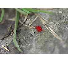 Little red insect Photographic Print