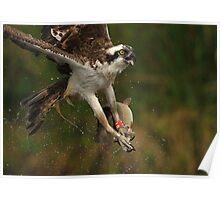 Scottish Osprey with Fish Poster