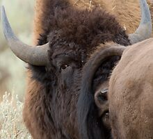 Bison Romance by William C. Gladish