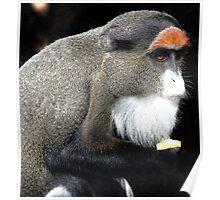 De Brazza's monkey(Cercopithecus neglectus) Poster