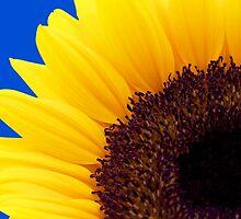 Sunflower by fernblacker