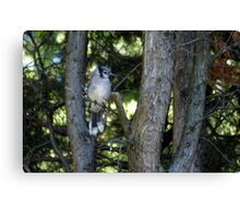 The Elusive Bluejay Canvas Print