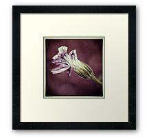 Osteospermum Flower Framed Print