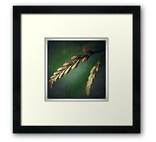 Crocosmia Buds Framed Print