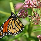 A Michigan Monarch by jozi1
