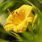 Daylily by Evelyn Laeschke