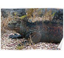 Marine Iguana5 Poster