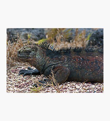 Marine Iguana5 Photographic Print