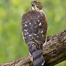 Watchful Cooper's Hawk. by Daniel Cadieux