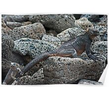Marine Iguanas Poster