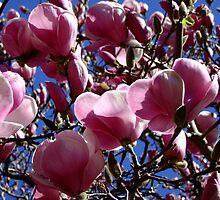 San Jose - Magnolia Soulangeana by Gabrielle  Lees