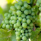 Pinot Gris along the river Rhine by Britta Döll