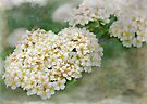 hedgerow blossoms by Teresa Pople