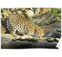 Drinking Leopard Poster