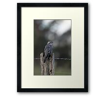Pallid Cuckoo - NSW far south coast Framed Print