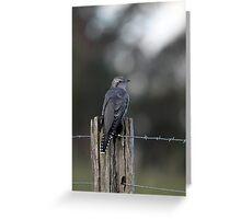 Pallid Cuckoo - NSW far south coast Greeting Card