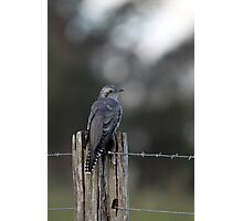 Pallid Cuckoo - NSW far south coast Photographic Print