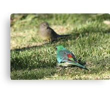 Red-rumped Parrot - male and female Canvas Print