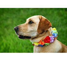 Lola the Golden Lab ~ Charmouth Fair Photographic Print