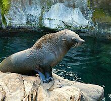 Fur seal by shalisa