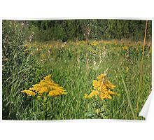 Two yellow wildflowers Poster