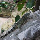 Iguana  by KJWH