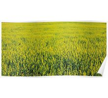 Yellow canola flowers Poster