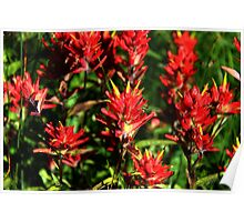 Red Indian Paintbrush Poster