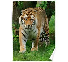 "Tiger ""Strolling"" Poster"