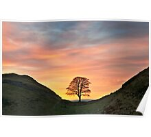 Sycamore Tree on Hadrian's Wall Poster