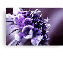 Purple Scabious Macro Canvas Print