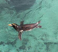 Penguin having the morning lap by stefanjb