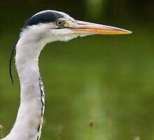 Grey Heron by Michael G Devereux